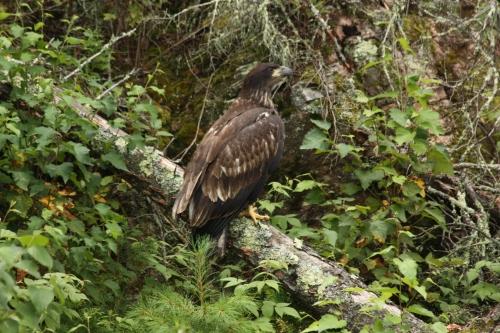 Baby Eagle along the shoreline