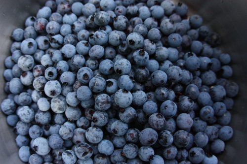 Blueberries by the bucket load!