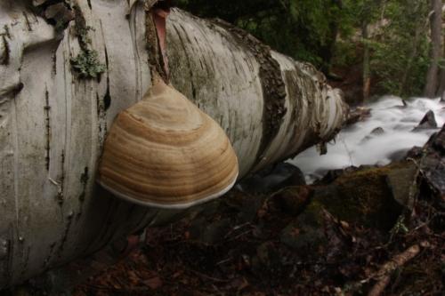 Fallen birch deep in the north woods