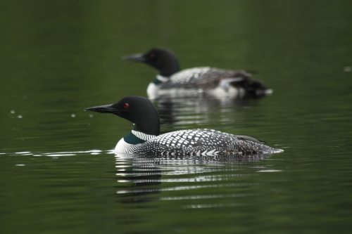 Loons abound here