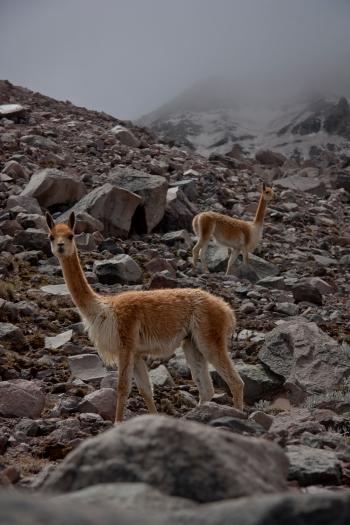 Vicuna at 16,500' on Chimborazo